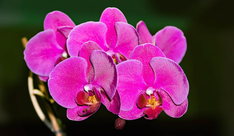 Orhidbloemen op zwarte elegante exotisch van de achtergrondkoningin verse plons stock afbeeldingen