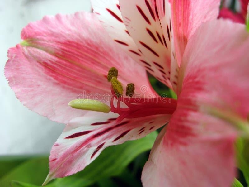 Orhidea rosado fotografía de archivo
