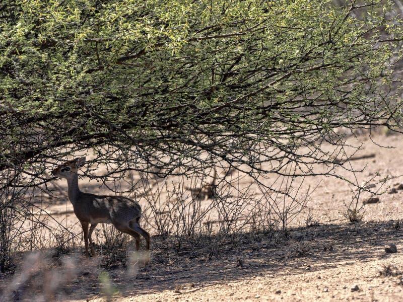 Oribi,Ourebia ourebi,阿瓦什国家公园,埃塞俄比亚 免版税库存照片