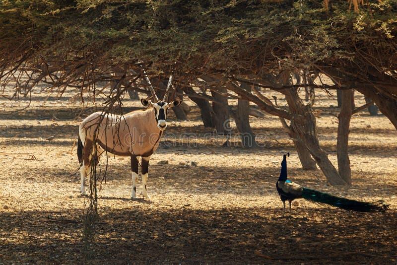 Orice arabo o leucoryx e pavone bianchi dell'orice dell'orice nella riserva, habitat naturale, UAE, Abu Dhabi, isola Sir Bani Yas fotografia stock libera da diritti