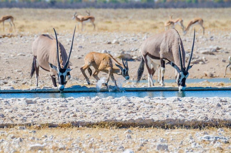 Orice dell'adulto due o gemsbok e giovane che spruzza con acqua al foro di acqua, Etosha NP, Namibia, Africa immagini stock