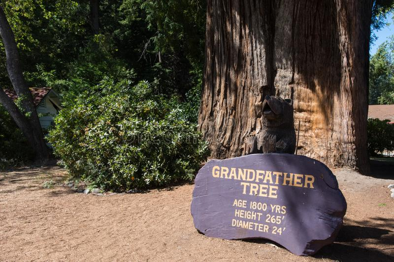 The Grandfather Tree in Redwood National Park, is a tall, old growth tree located in Northern. ORICK, CALIFORNIA: The Grandfather Tree in Redwood National Park royalty free stock photography