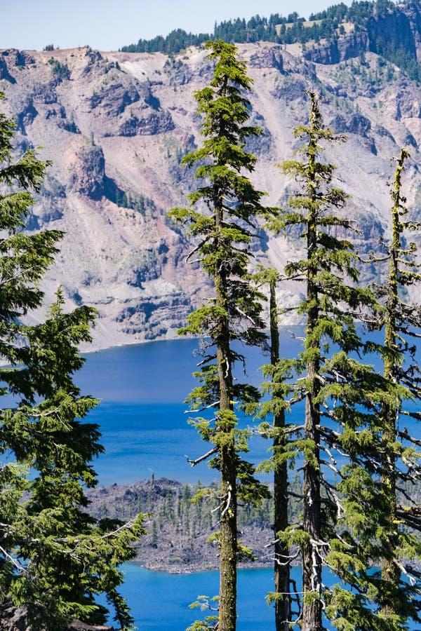 Orientação do retrato de grandes pinheiros no parque nacional do lago crater fotos de stock royalty free