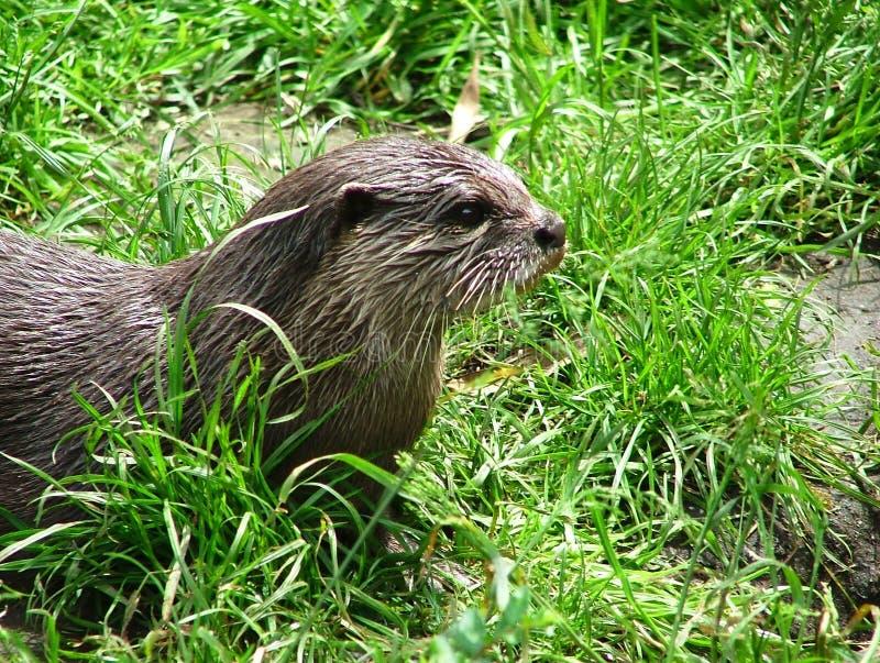 Orientał drapająca wydra - Zwergotter zdjęcie stock
