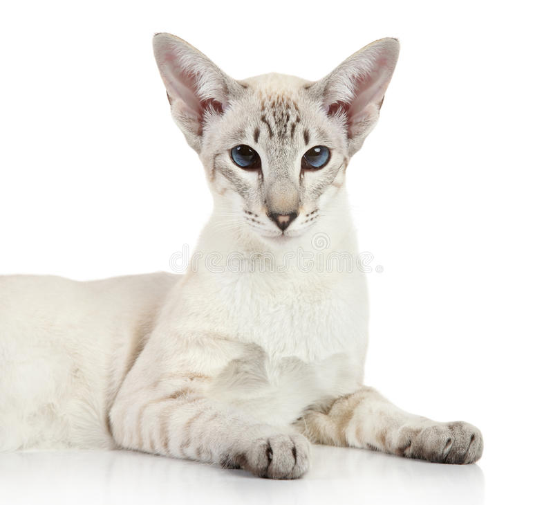 Oriental Blue Point Siamese Cat Stock Photo Image Of