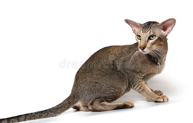 Download Oriental cat stock photo. Image of tender, downy, whisker - 3663054