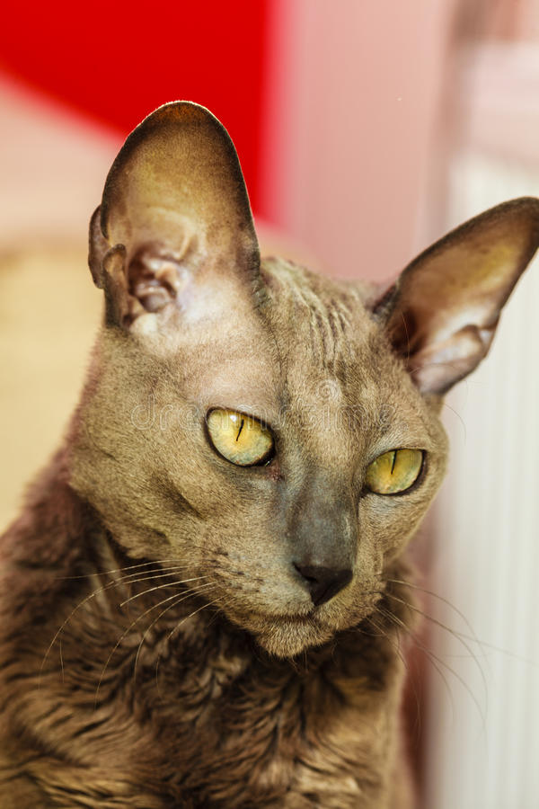 Oriental cat with big yellow eyes stock photography
