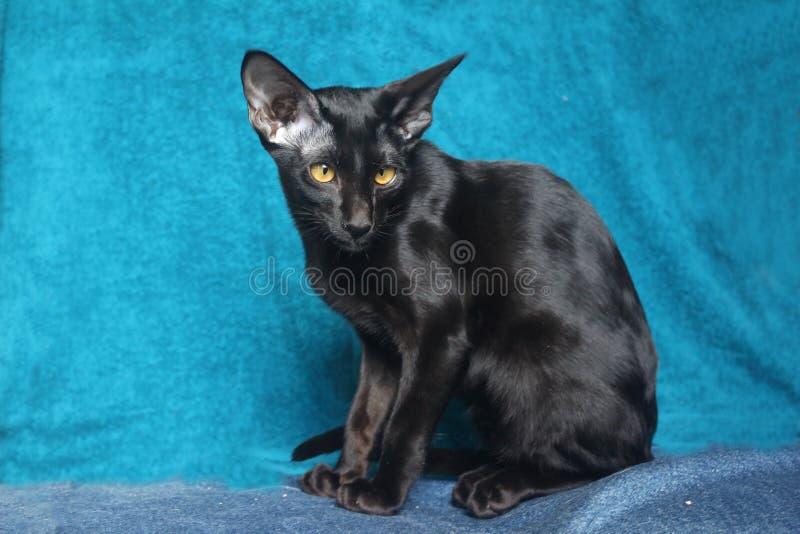 Oriental cat. Black oriental cat against blue background stock images