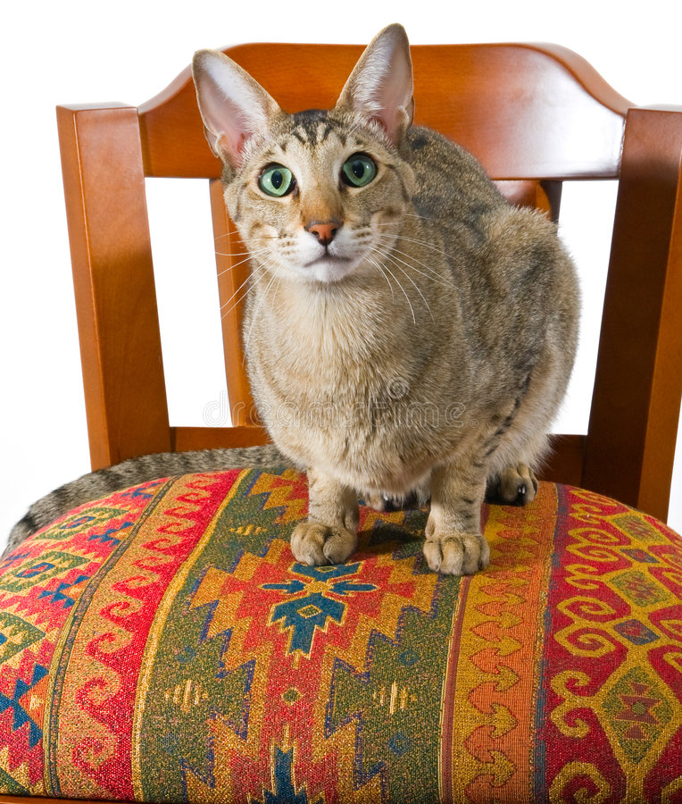 Free Oriental Cat Sitting On Chair Stock Image - 7473201