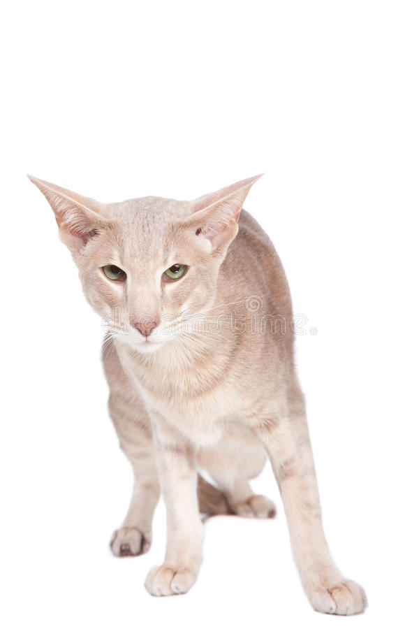 Download Oriental Cat Sitting On White Stock Image - Image of animal, east: 24145063