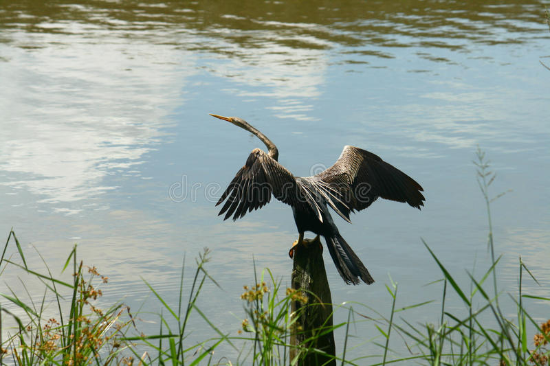 Download Oriental Darter stock photo. Image of tropical, exotic - 18233780
