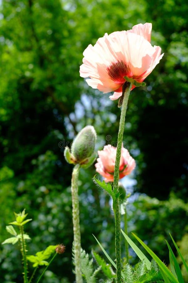 ` Oriental de Cedric Morris del ` de Poppy Papaver Orientale foto de archivo libre de regalías