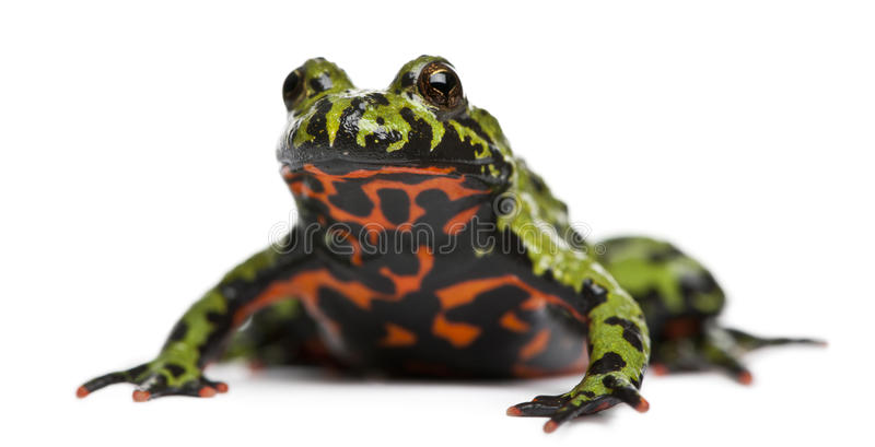 Oriental Fire-bellied Toad, Bombina orientalis royalty free stock photography