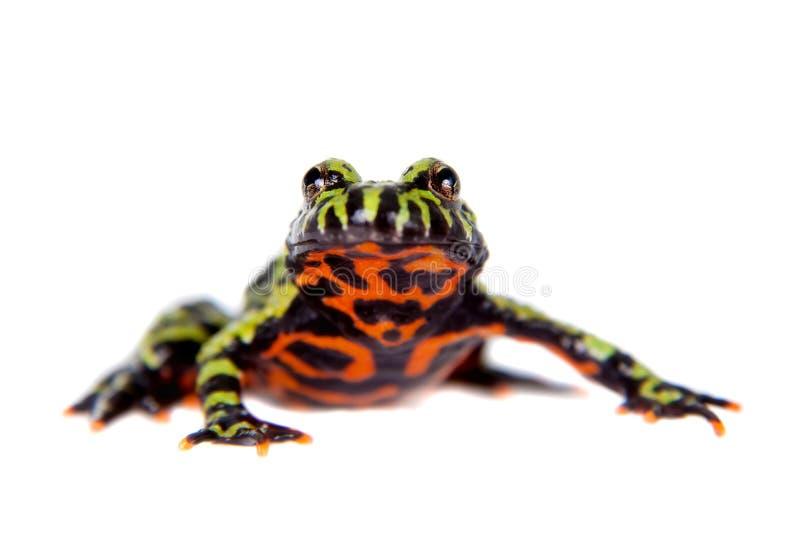 Oriental Fire-bellied Toad, Bombina orientalis, on white stock image