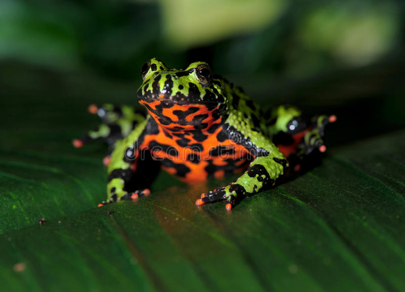 Oriental fire bellied toad male green leaf, china. Oriental fire bellied toad male in defensive pose showing belly, china, green frog stock photo