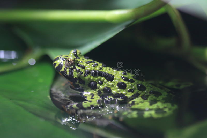 Oriental fire-bellied toad. In water stock images