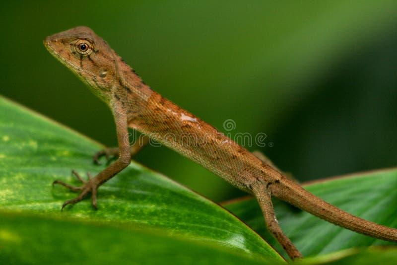 Download Oriental garden lizard-2 stock photo. Image of oriental - 11848126