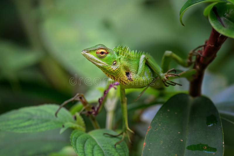 Oriental Garden Lizard - Calotes versicolor. Colorful changeable lizard from Asian forests and bushes, Sri Lanka stock images