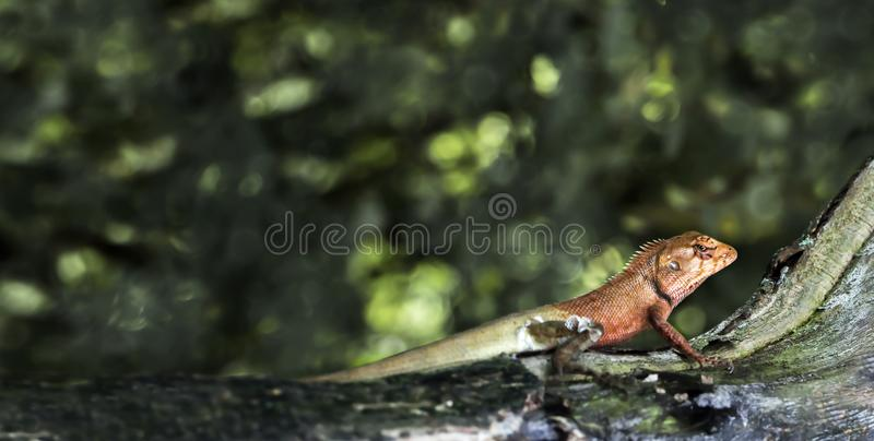 Oriental garden lizard or Calotes versicolor on the wood in trop. Ical forest asia, reptile animals royalty free stock image