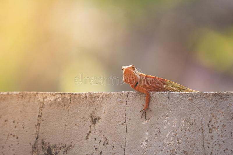 Oriental garden lizard or Changeable lizard (Calotes versicolor) lazy lying on grunge cement wal. stock photo