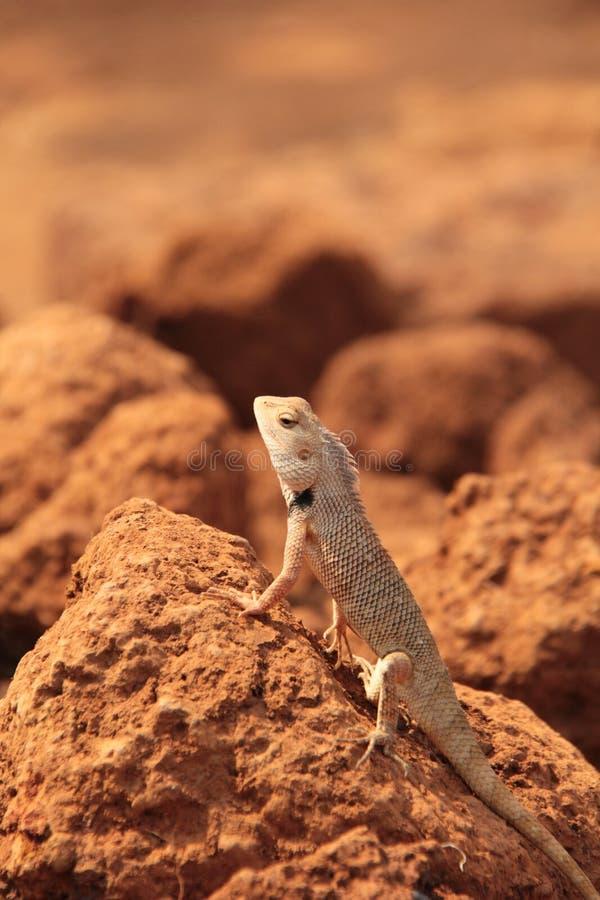 Free Oriental Garden Lizard In Wild Royalty Free Stock Images - 133556619