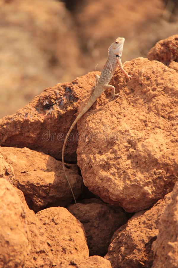 Free Oriental Garden Lizard In Wild Royalty Free Stock Photo - 133556625