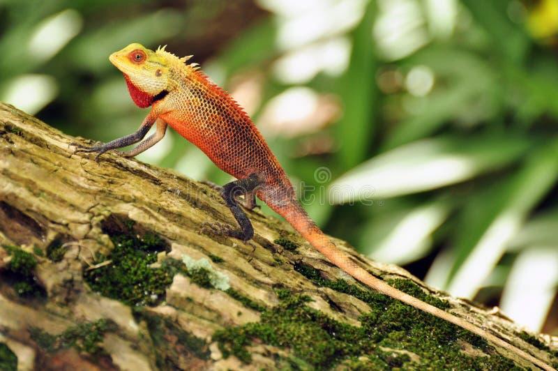 Captivating Oriental Garden Lizard