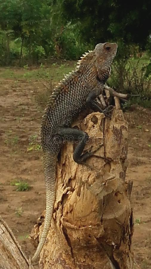 Oriental Garden Lizard royalty free stock photos