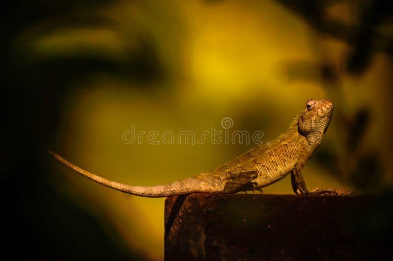 Oriental Garden Lizard in Red Brick stock photo