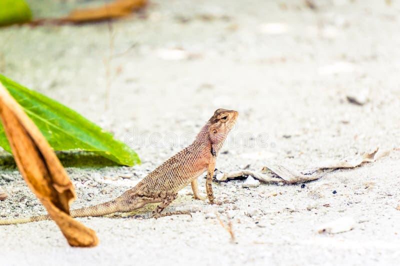 Oriental garden lizard sitting on white sand royalty free stock photo