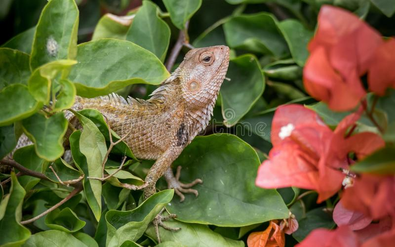 Oriental garden lizard trains the spine. The oriental garden lizard, eastern garden lizard or changeable lizard Calotes versicolor is an agamid lizard found royalty free stock images