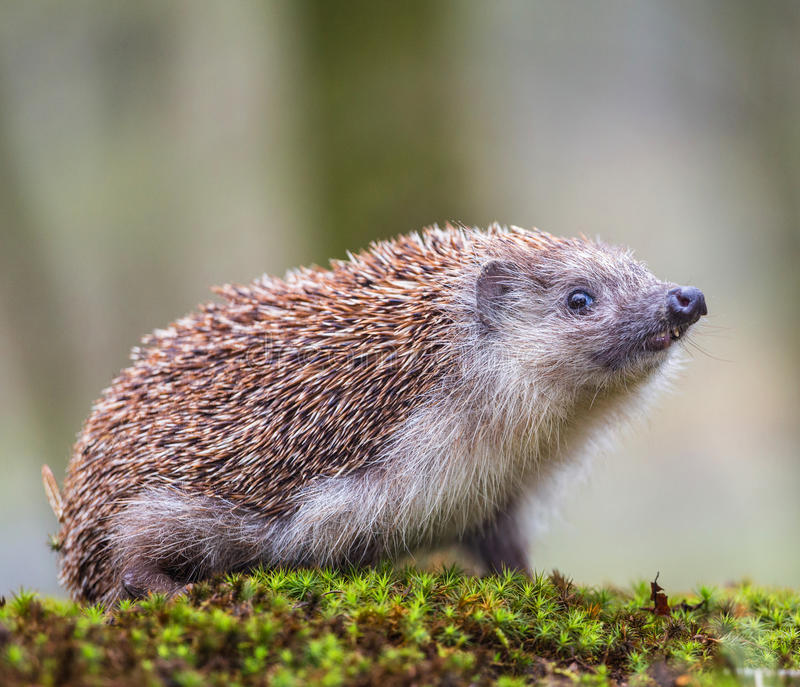 Oriental - Hedgehog europeu fotografia de stock