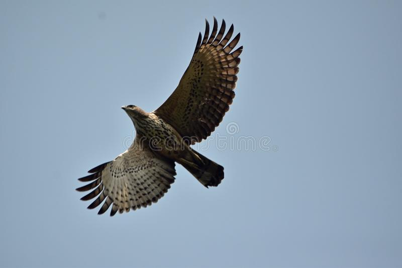 Oriental honey buzzard in flight. An oriental honey buzzard is hovering in the sky royalty free stock photo