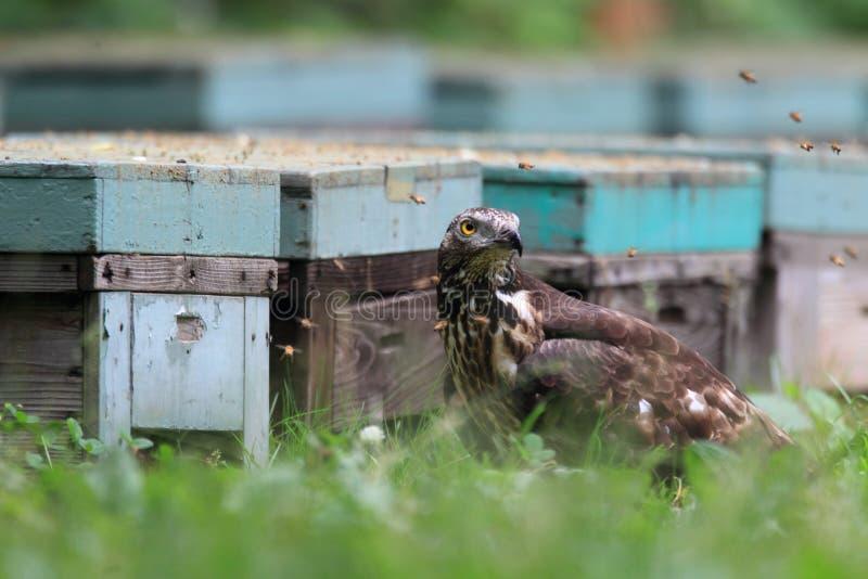 Oriental honey-buzzard in Japan stock photo