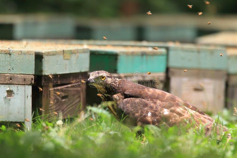 Oriental honey-buzzard in Japan stock photos