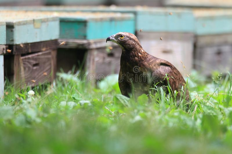 Oriental honey-buzzard in Japan royalty free stock photos