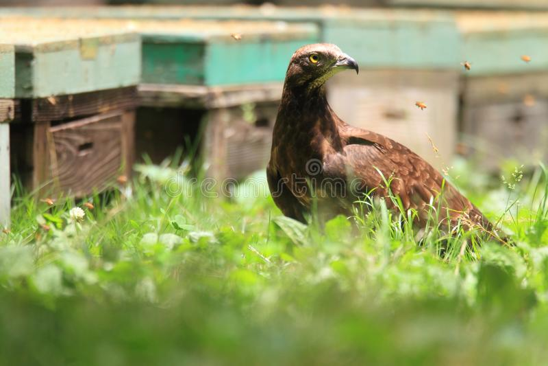 Oriental honey-buzzard in Japan royalty free stock image