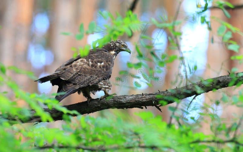 Oriental honey-buzzard in Japan stock images