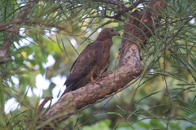 Oriental Honey Buzzard in the jungle royalty free stock photography