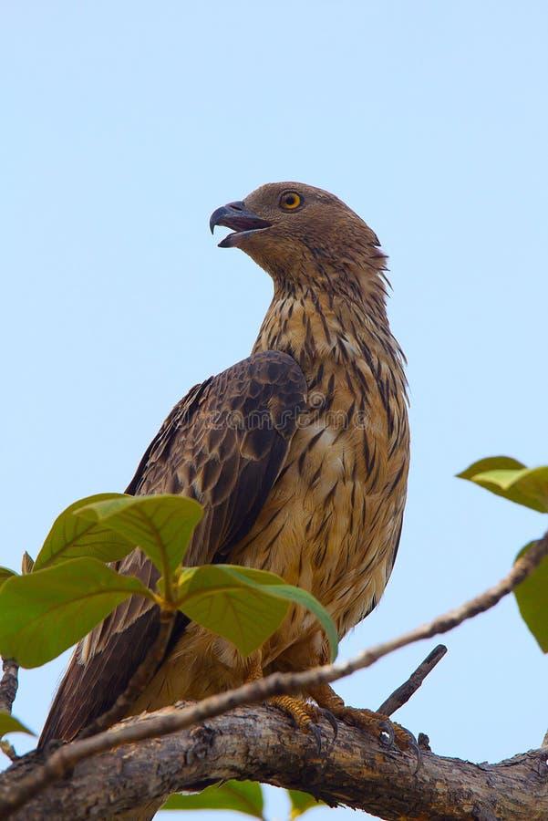 Oriental Honey Buzzard, Pernis ptilorhynchus, Tadoba Andhari Tiger Reserve, Maharashtra royalty free stock images