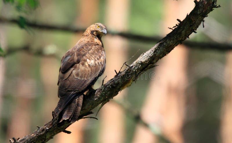 Oriental honey-buzzard in Japan royalty free stock images