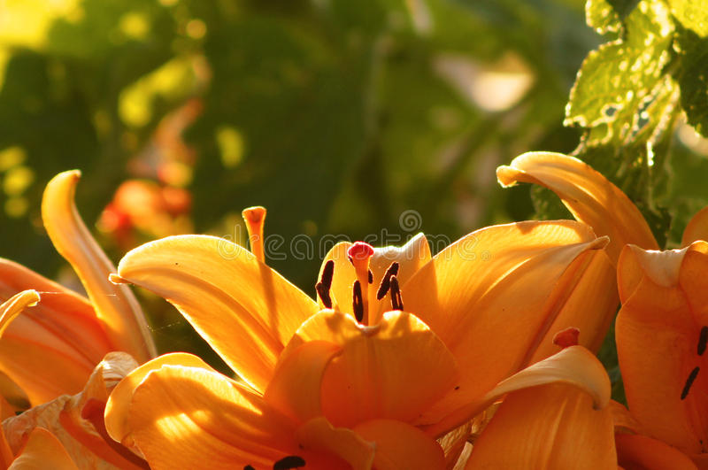 Oriental Lillies against countryside background royalty free stock photos
