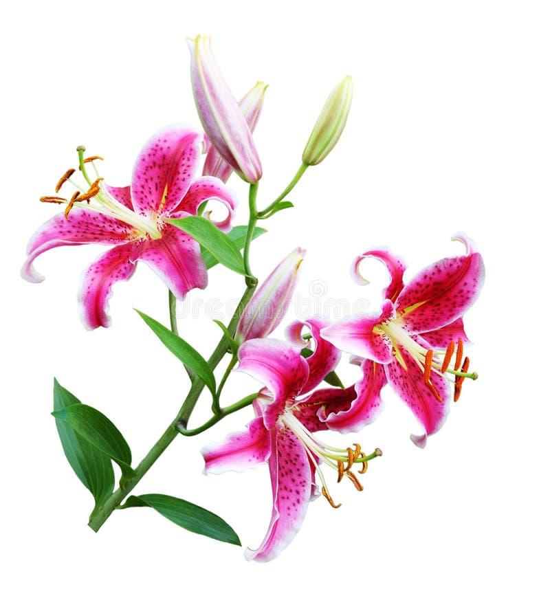Free Oriental Lily Royalty Free Stock Photos - 12941808