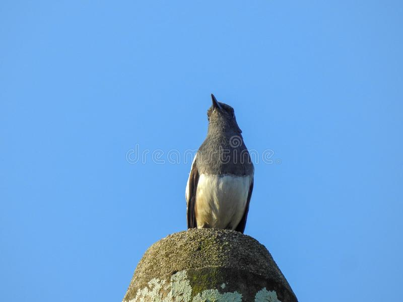 Oriental magpie robin Copsychus saularis hanging on a stone royalty free stock photos