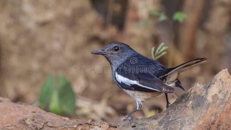 Oriental magpie robin - Copsychus saularis stock photos