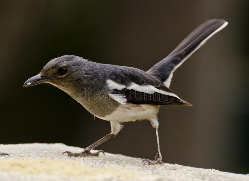 An oriental magpie robin feeding at a bird feeder. The oriental magpie-robin Copsychus saularis is a small passerine bird that was formerly classed as a member royalty free stock photos