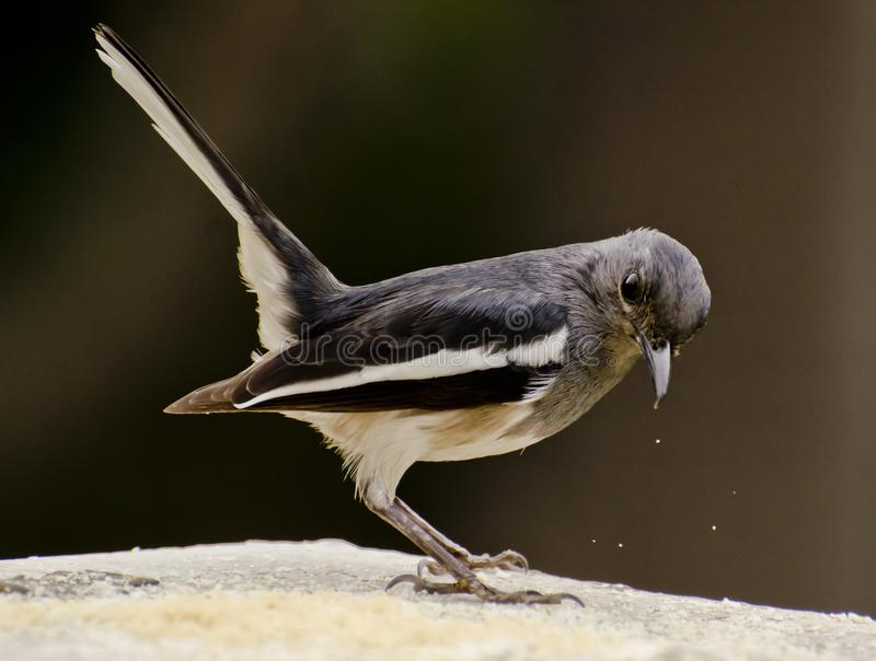 An oriental magpie robin feeding at a bird feeder. The oriental magpie-robin Copsychus saularis is a small passerine bird that was formerly classed as a member stock photos