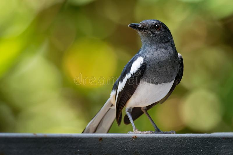 Oriental Magpie-Robin - Copsychus saularis small passerine bird that was formerly classed as a member of the thrush family stock photography