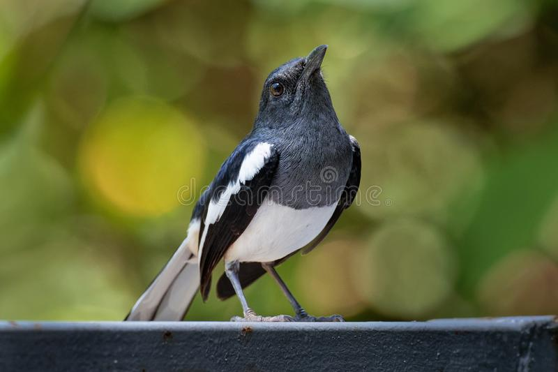 Oriental Magpie-Robin - Copsychus saularis small passerine bird that was formerly classed as a member of the thrush family royalty free stock photos