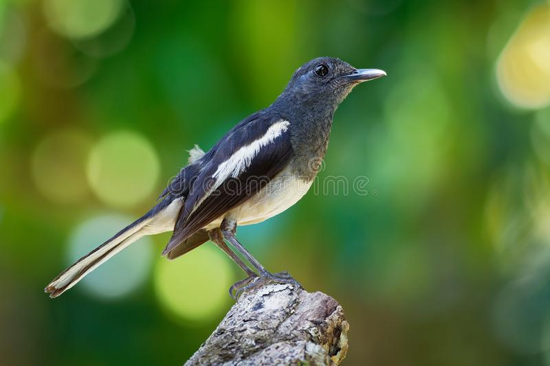 Oriental Magpie-Robin - Copsychus saularis small passerine bird that was formerly classed as a member of the thrush family Turdida stock photo